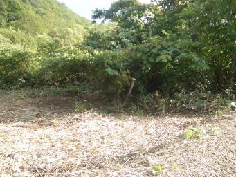 山ブドウ畑右側