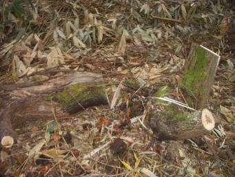 伐採木根元