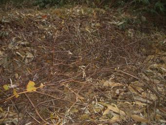 山ブドウの蔓