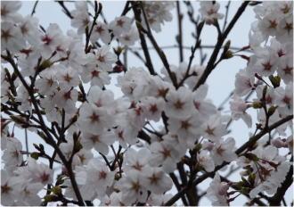 blog-4-3sakura.jpg