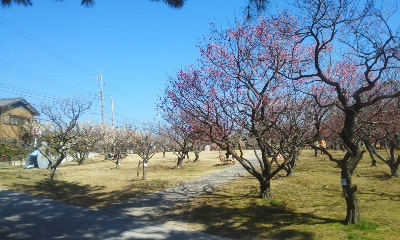 岡崎南公園の梅1