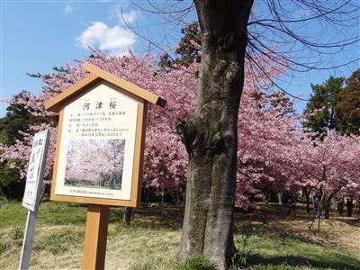 万葉公園の河津桜8