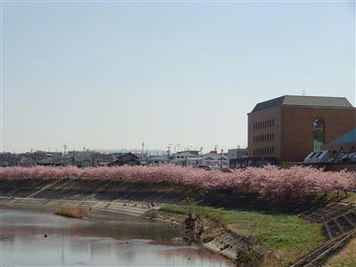 乙川の河津桜1