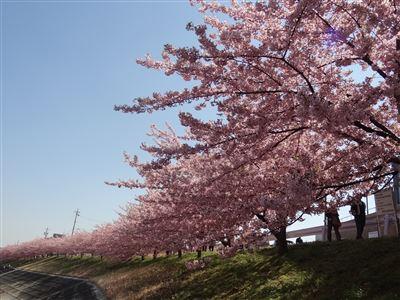 乙川の河津桜4