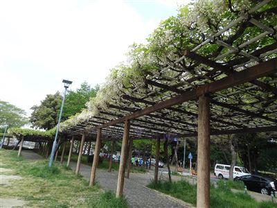 名城公園 藤の回廊3