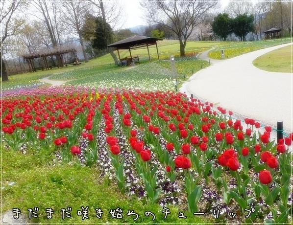 咲き始めのチューリップ