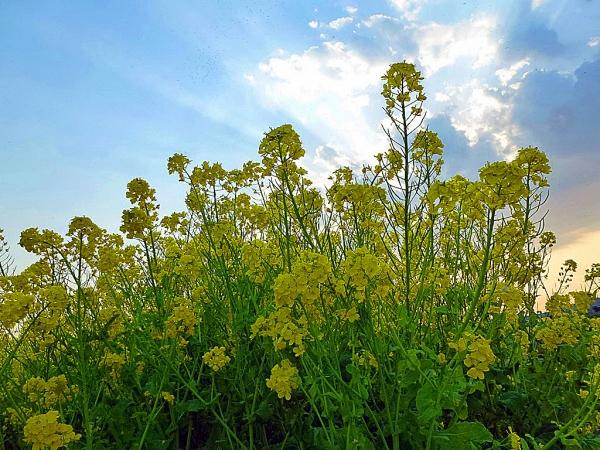 空と菜の花
