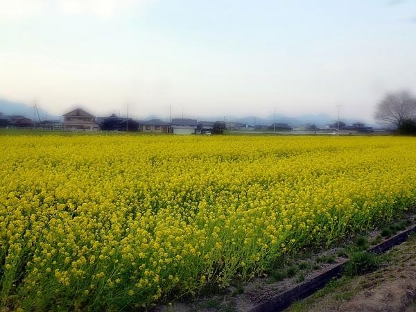 菜の花畑と景色