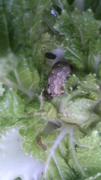 白菜の葉を食べ尽くす「夜盗蛾」