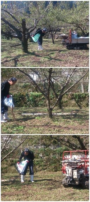 梅の樹が健康に育ってくれるように願って・・・