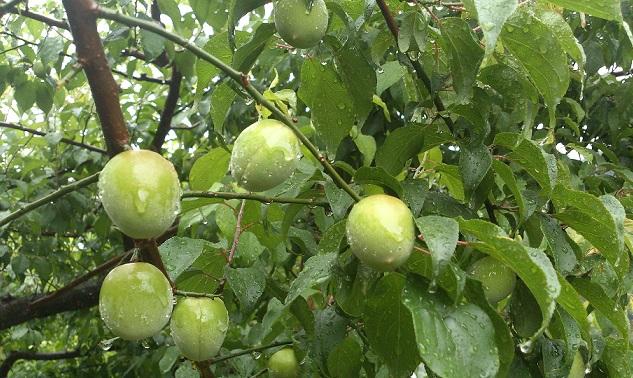 大きな果実に生育した梅