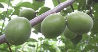 梅酒づくりに最適な「鶯宿」5月下旬から収穫