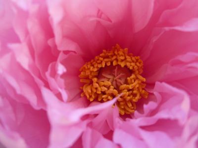 牡丹うすいピンク