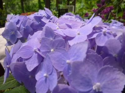 ボタニカル・紫陽花