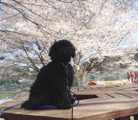 うらんと桜1