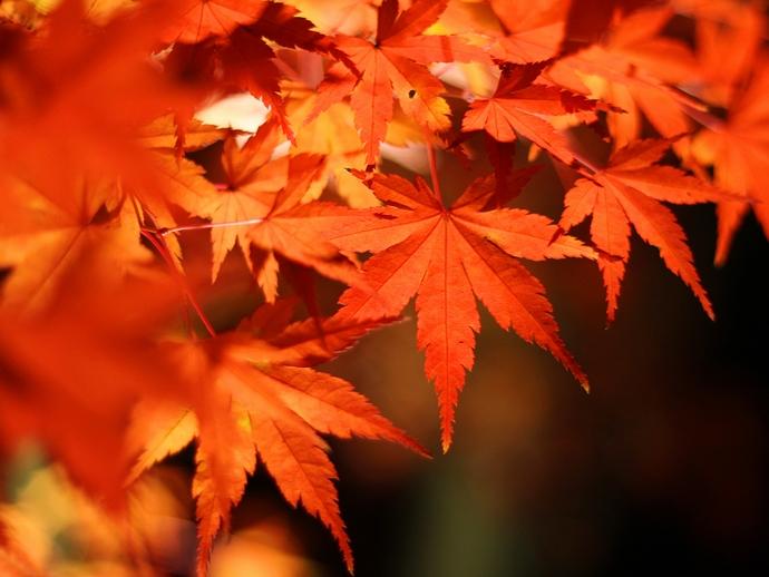 京都・永観堂の紅葉ライトアップ 真っ赤なもみじの葉