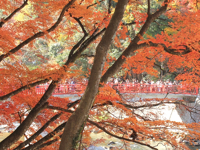 香嵐渓の紅葉 モミジ越しの待月橋