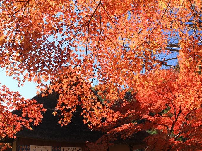 日本屈指の紅葉 香嵐渓の秋