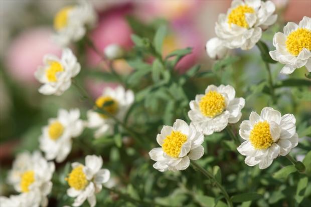 花かんざし(ヘリクリサム)