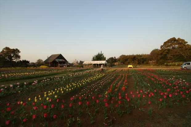 チューリップ畑の全貌