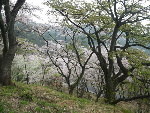 桜桜桜桜桜桜桜桜・・・