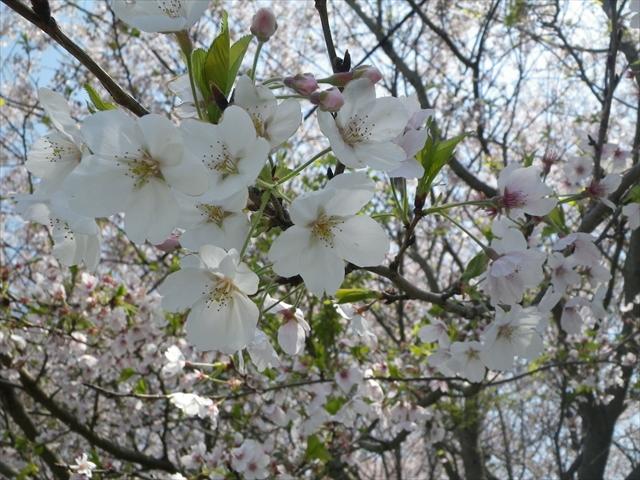 桜も満開!