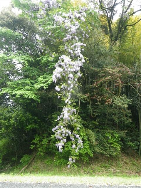世界最長の藤の木!?かも