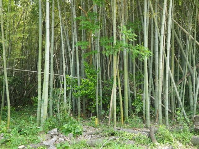 無管理状態の竹藪