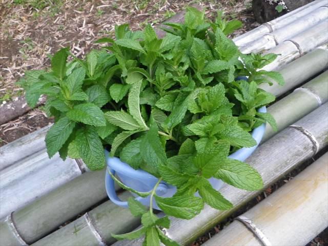 スペアミントの収穫!