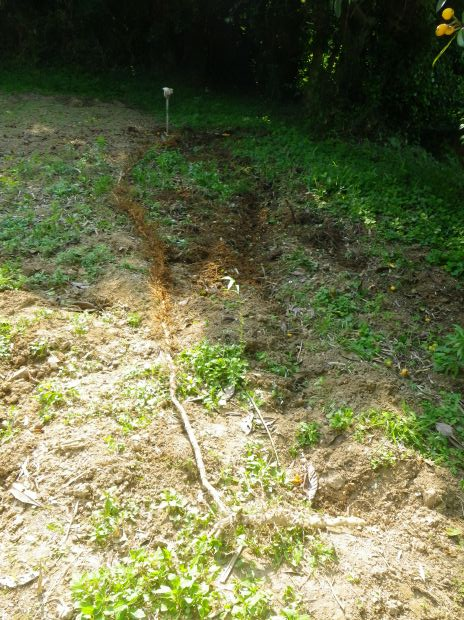 過去最長の竹の地下茎