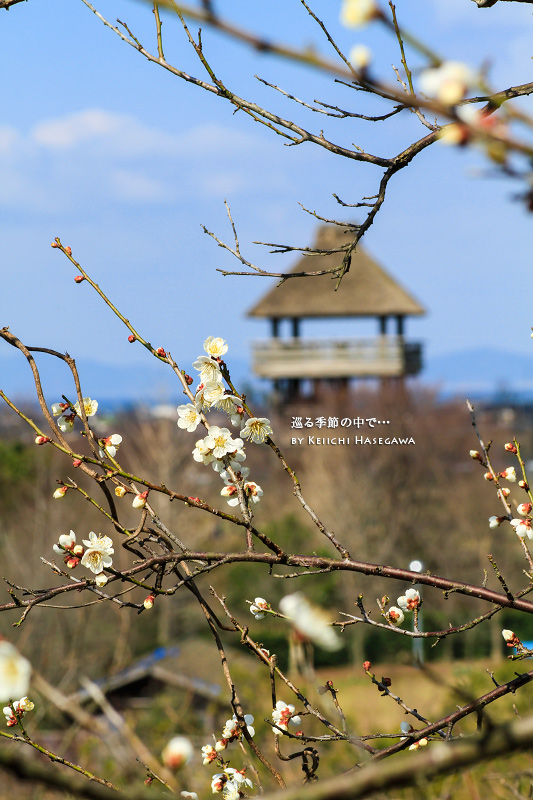 伯耆古代のお丘公園 梅