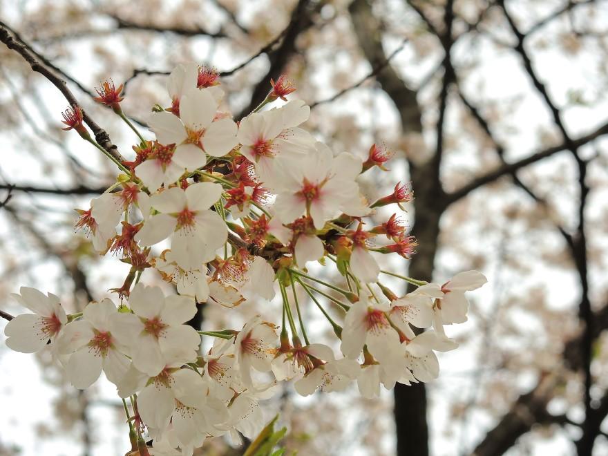 桜 (71)