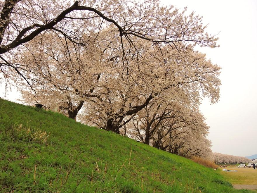 桜 (62)