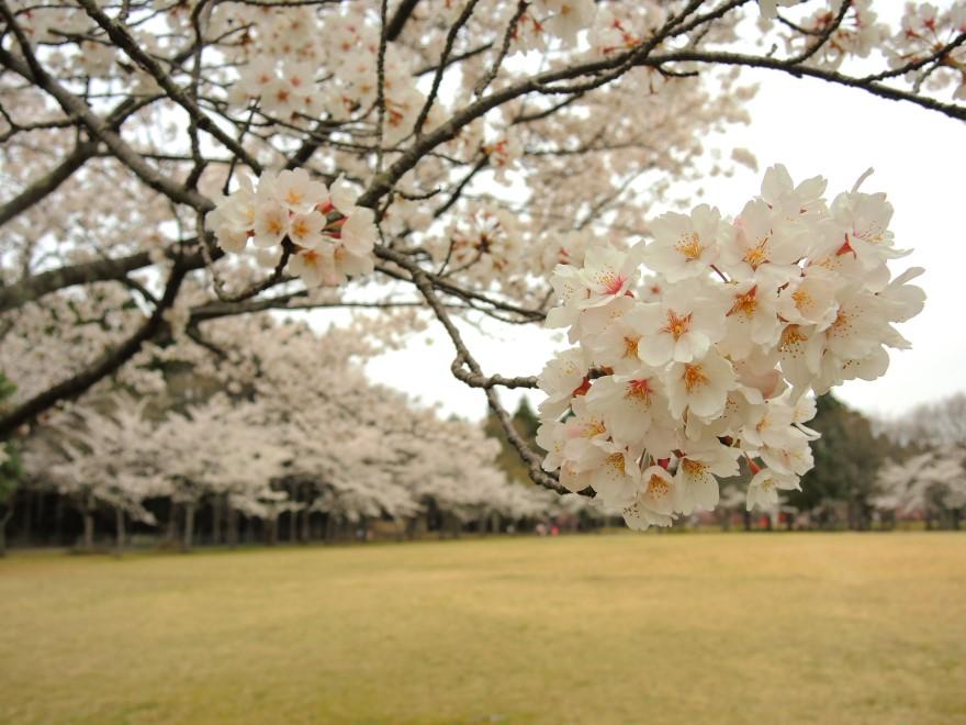 桜 (44)
