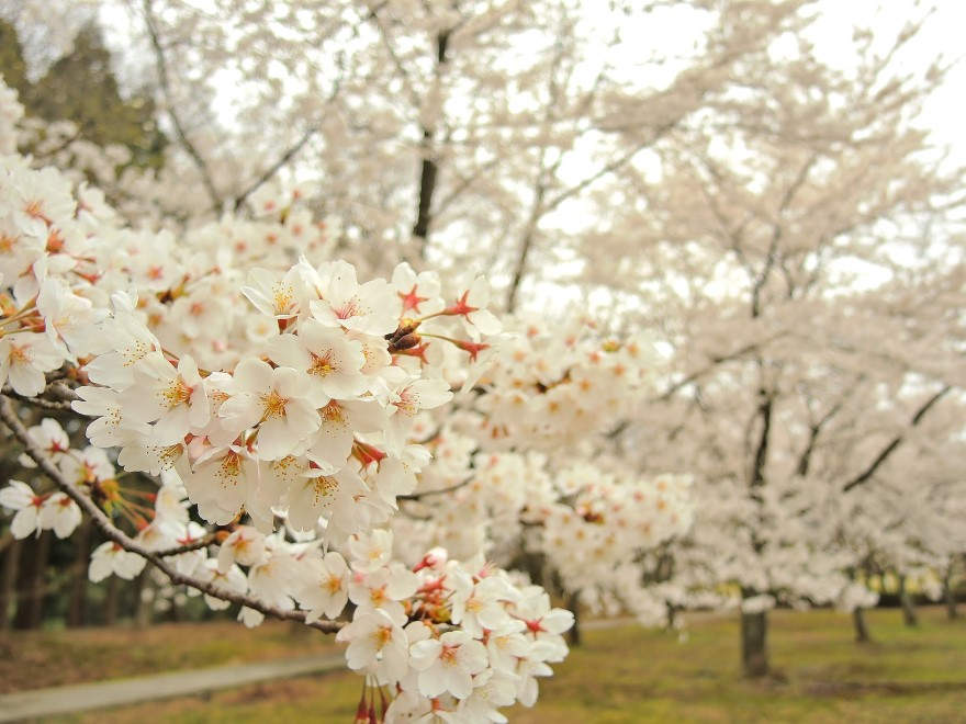 桜 (30)
