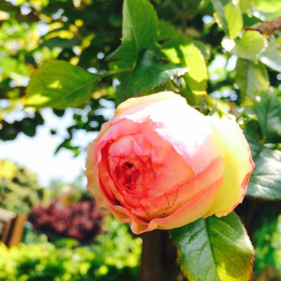 bgdm_rose 6 mai 14