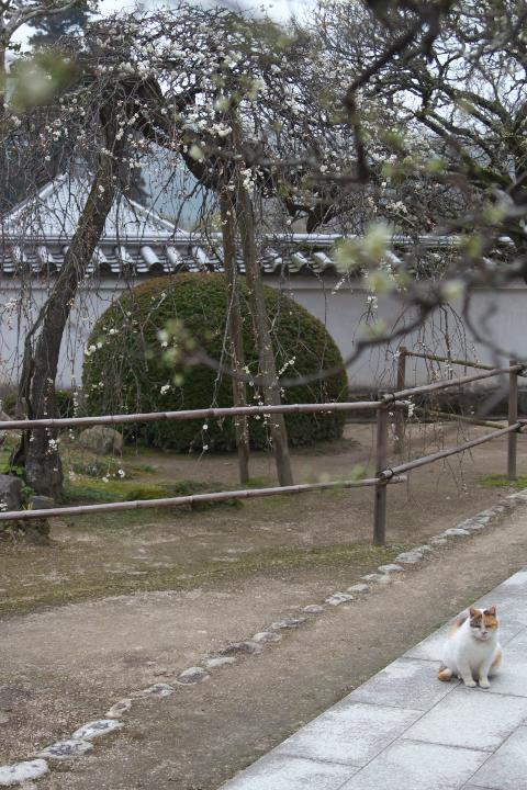 洞泉寺の猫と臥龍梅
