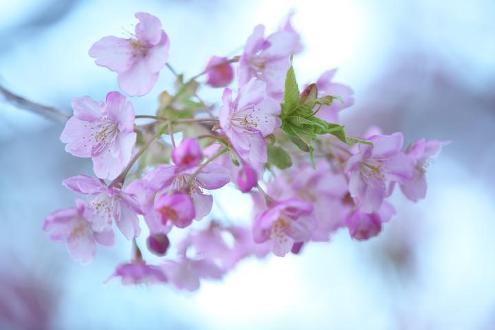 上関河津桜1414