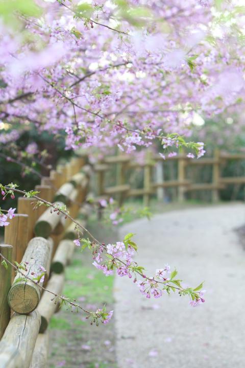 上関河津桜1409