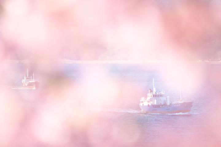 上関河津桜1406