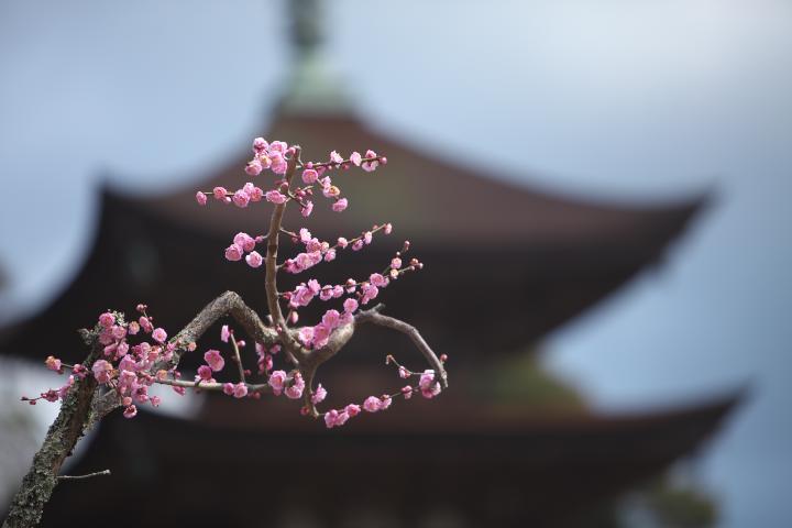 瑠璃光寺五重塔と梅1401