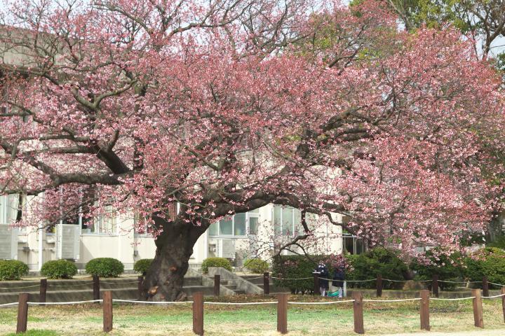 向島小学校の寒桜1407