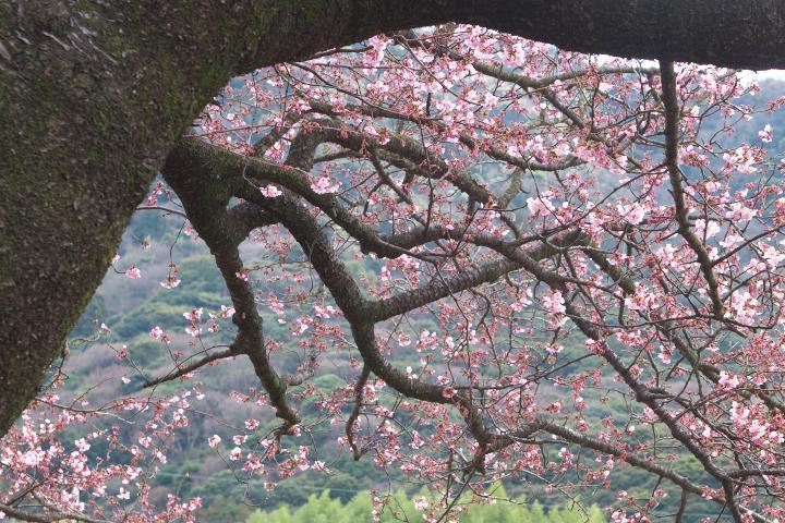 向島小学校の寒桜1405