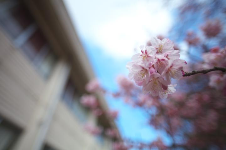 向島小学校の寒桜1413