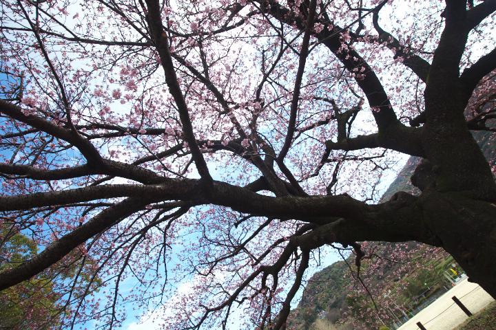 向島小学校の寒桜1414