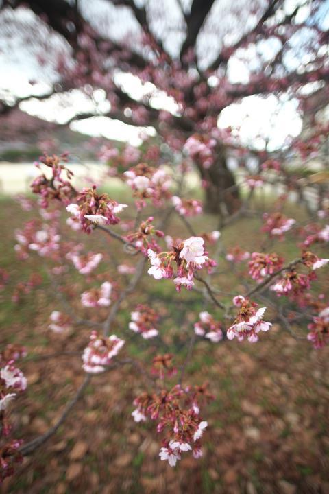 向島小学校の寒桜1410