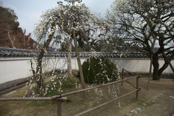洞泉寺の臥龍梅1407