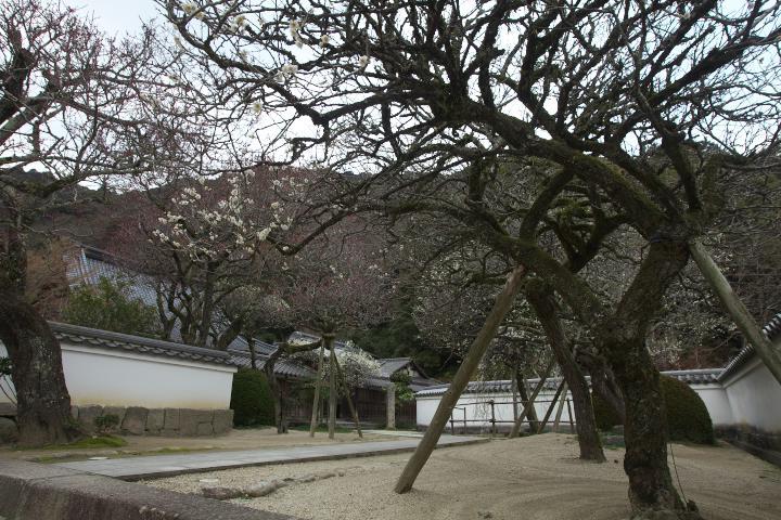 洞泉寺の臥龍梅1408