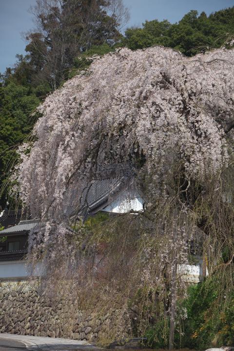 弾正糸桜1401