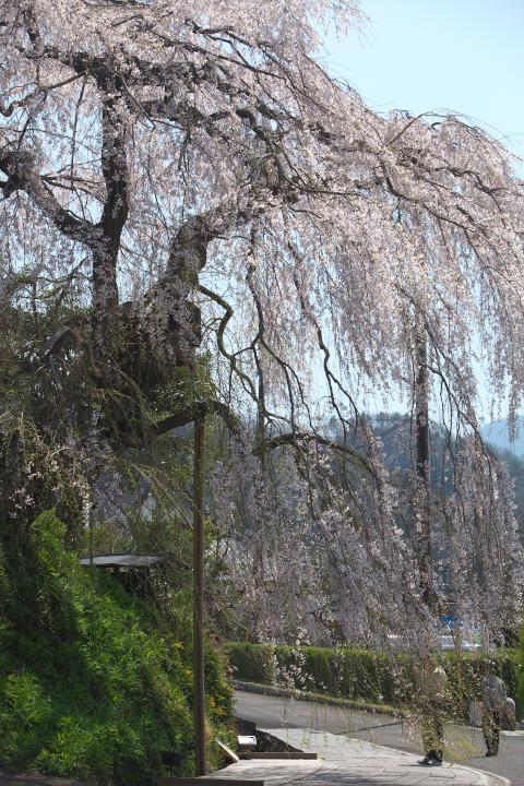 弾正糸桜1403